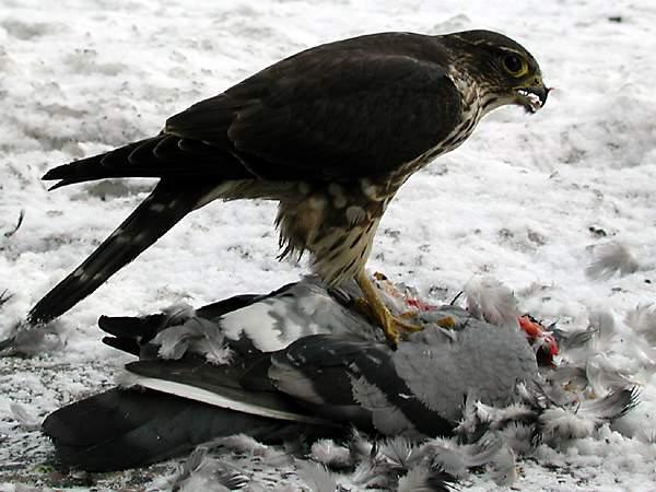 Foto rapitoare porumbei - Romanian Racing Pigeons.