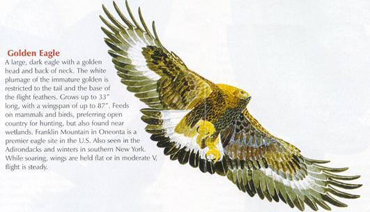 Golden Eagles Vancouver Island