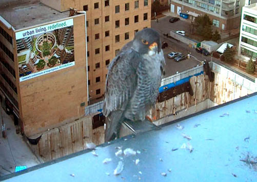 The Canadian Peregrine Foundation -- Uptown Toronto Photograph